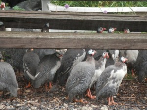 Guinea Fowl sheltering from the rain