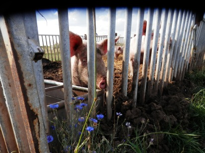 Pigs and flowers