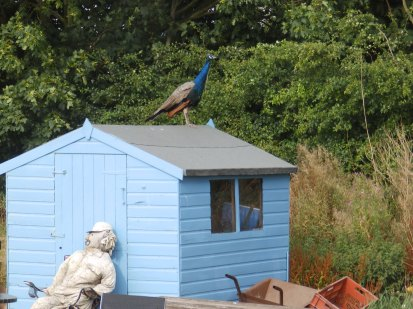 Peacock on the roof