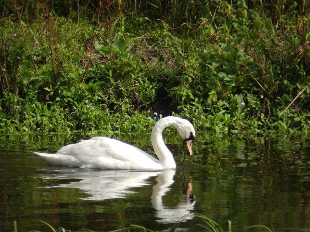 Swan at National Arboretum