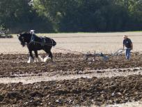 Horse drawn ploughing