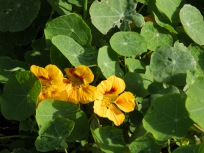 Nasturtium, or INdian Cress