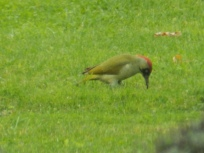 Green Woodpecker feeding on ants