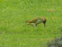 Green Woodpecker feeding on ants