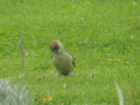 Green Woodpecker feeding on the floor