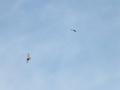 Buzzard pursued by crow