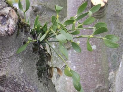 Mistletoe spray