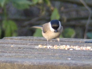 Marsh Tit - Rufford Abbey