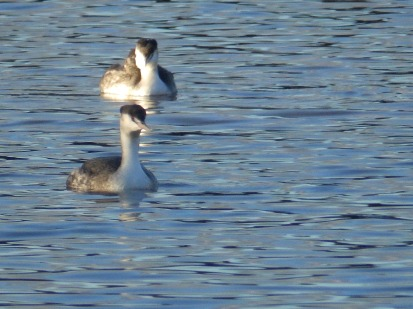 Great Crested Grebes on Rufford Lake