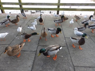 Bird feeding riot at Rufford Abbey