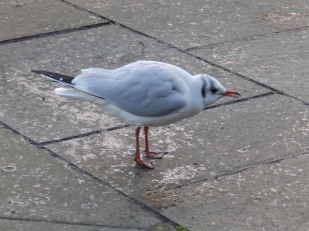 Adult Black-headed gull - winter plumage