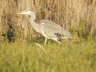 Heron stalking the field margin