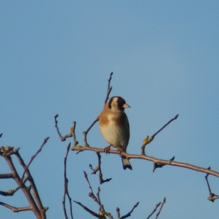 Goldfinch at Sreveton