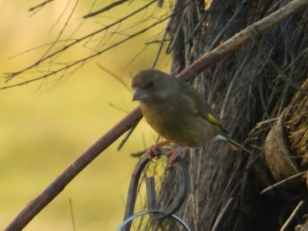 Greenfinch at the feeder