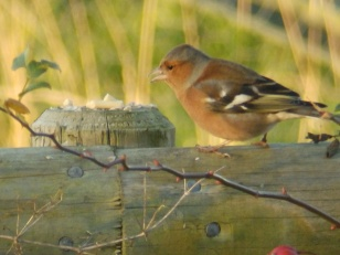 Male Chaffinch at Screveton