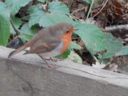 Robin in Sherwood Forest