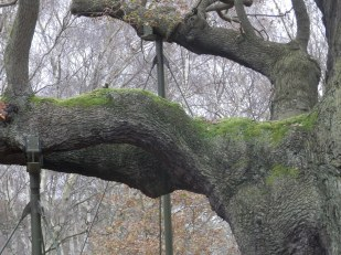 Holding up the Major Oak