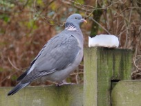 Wood pigeon viewing the bird food