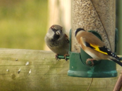 House Sparrow and Goldfinch on a feeder