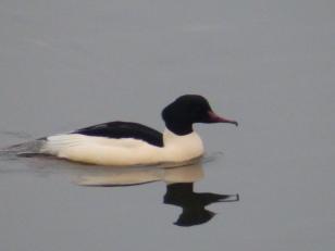 Goosander male