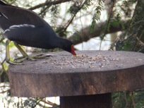 Moorhen on bird table