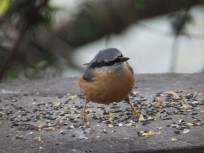 Nuthatcs at Rufford Abbey