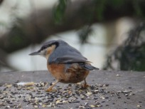 Nuthatce at Rufford Abbey
