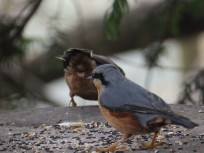 Nuthatches at Rufford Abbey