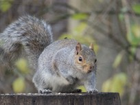 Squirrel on bird table (and fly on squirrel)