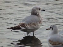 immature Common gull