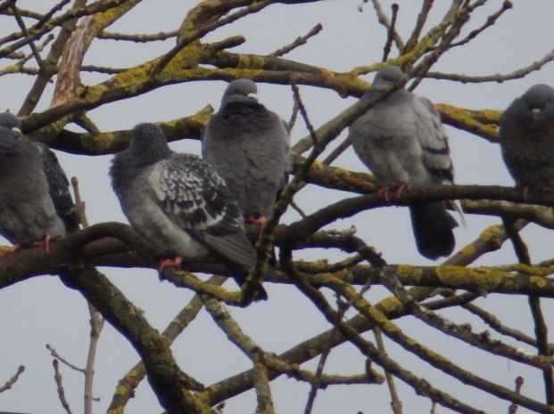 Feral Pigeons