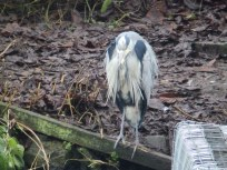 Grey Heron at Arnot Hill Park