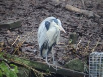 Heron at Arnot Hill Park