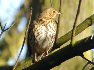 Song Thrush at Rufford Abbey