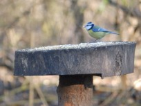 Blue Tit at Rufford Abbet