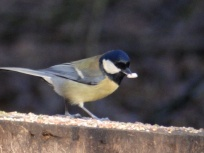 Great Tit at Rufford Abbey