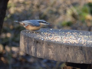 Nuthatch at Rufford Abbey