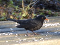 Blackbird on picnic table - Rufford Abbey
