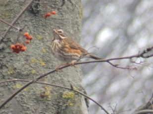 Redwing in Carrington