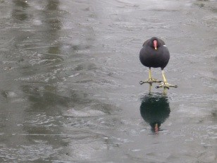 Moorhen on thin ice