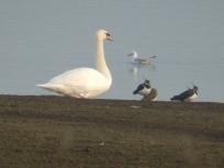Mute Swan, Lapwings and Black Headed Gull