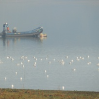 Gulls at Carsington Water