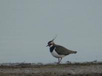Lapwing at Carsington Water