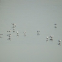 Black Headed Gulls on ice