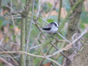 Long Tailed Tit - Sherwood Forest