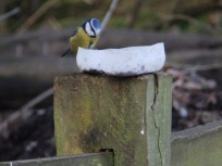 Blue Tit on feeder - Sherwood Forest
