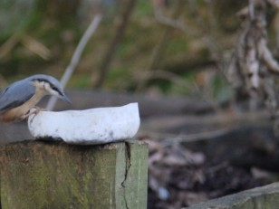 Nuthatch - Sherwood Forest