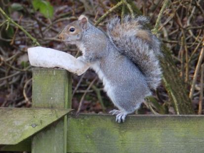 Squirrel stealing bird food