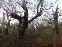 Ancient oak of Sherwood
