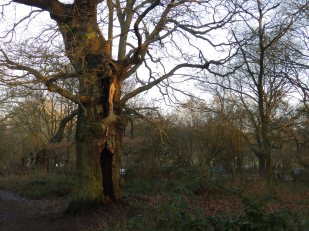 Oak tree in Sherwood